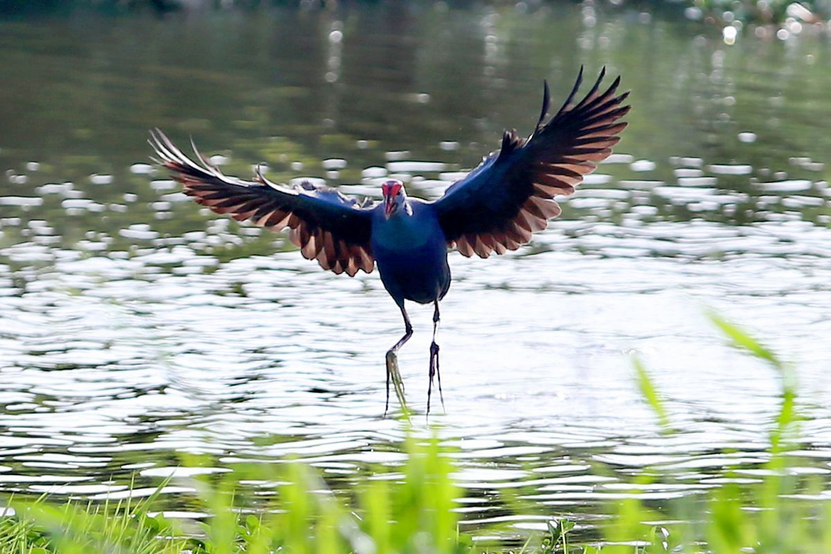 A black-backed swamphen at the Kranji Marshes on Feb 17. The uncommon resident bird can be found at freshwater marshes and reedbeds. It feeds on small invertebrates and is very wary of danger. It breeds from January to March. The bird has a red bill
