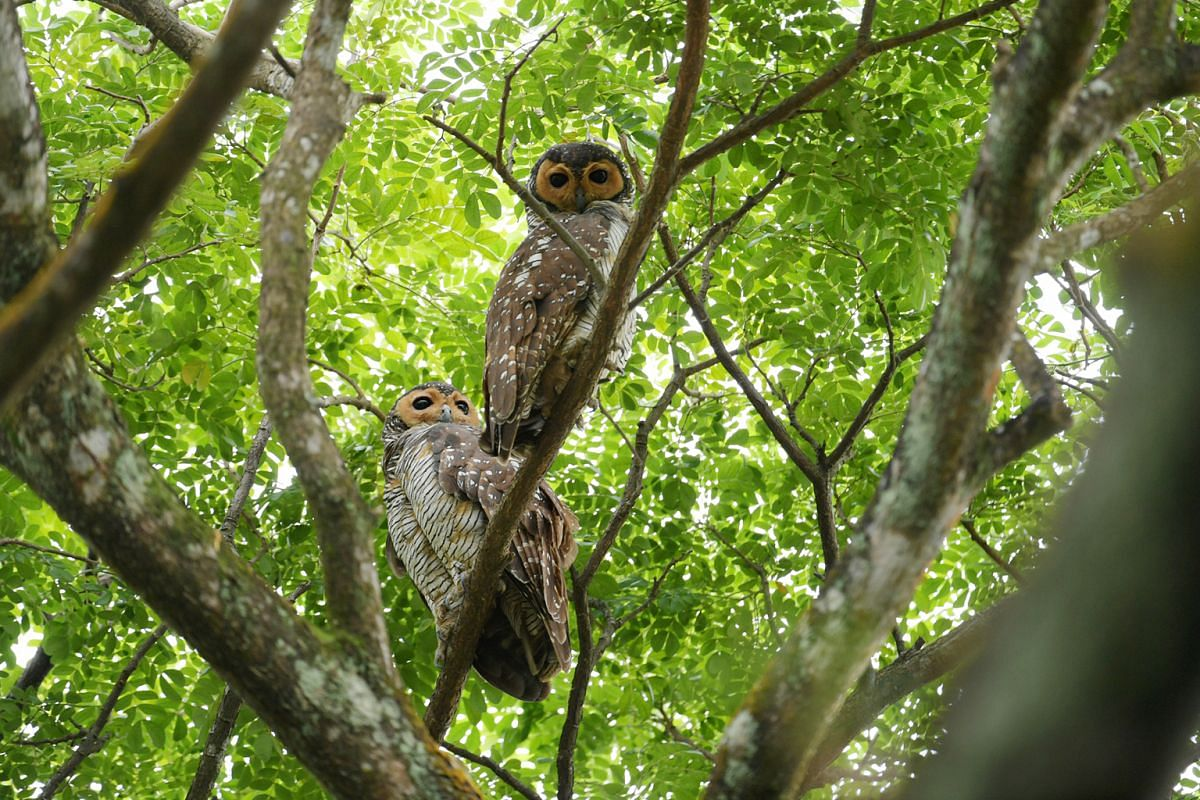 A pair of spotted wood owls on Jan 17. The bird is an uncommon resident of secondary forests, forest edges, old plantations, secondary scrubs and urban parklands. It is endangered in Singapore. It can also be found in parts of mainland South-east Asi