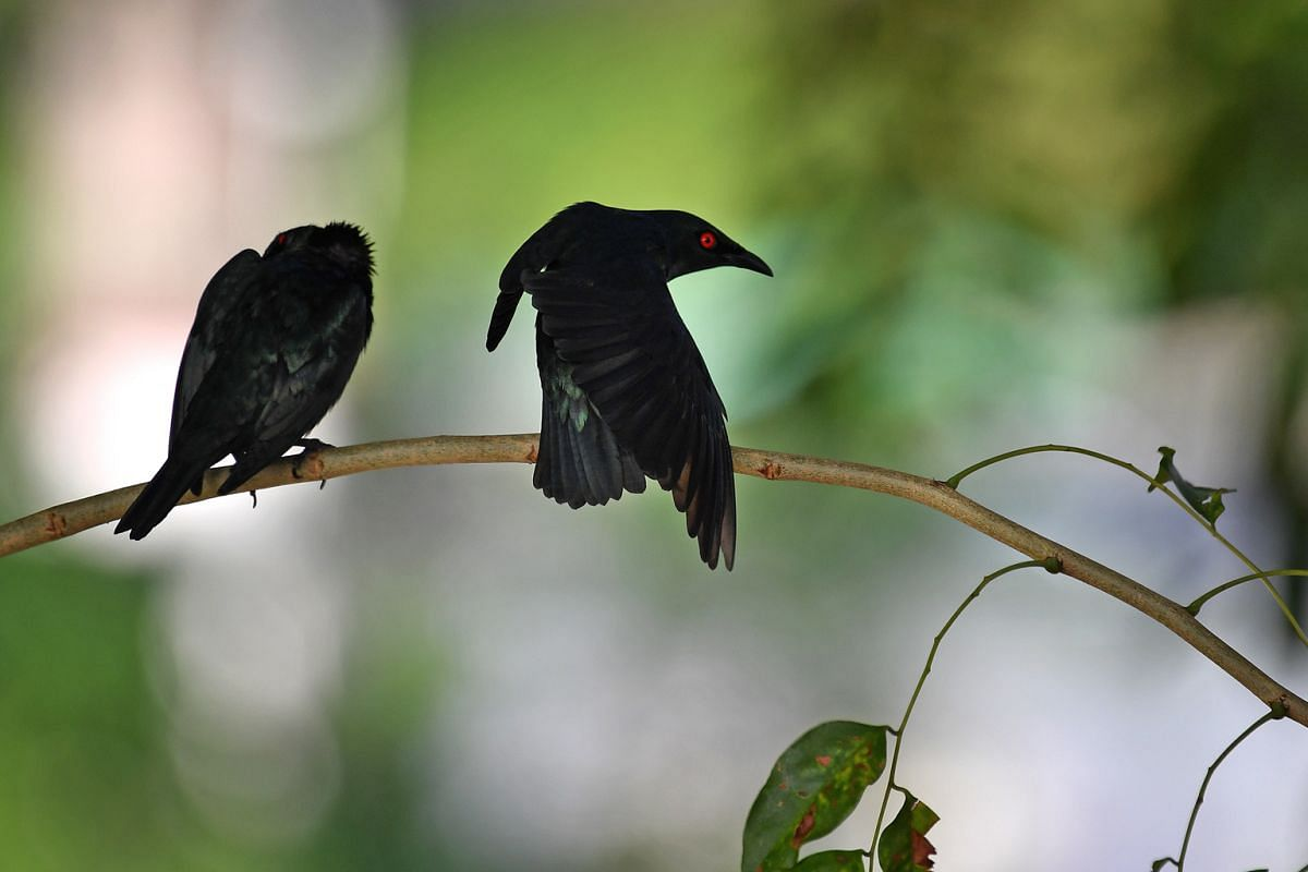 Two Asian glossy starlings near Block 44 Holland Drive on Jan 17. The birds are a very common resident of secondary forests, forest edges, scrubs, old plantations, parklands and urban areas. They have an entirely glossy bluish-green plumage, which ap